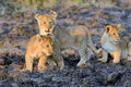 African Lion Cub Stock Images - 87773944