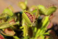 Insect Eating Plants, Venus Fly Trap Royalty Free Stock Photo - 87842575