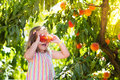 Child Picking And Eating Peach From Fruit Tree Royalty Free Stock Photos - 87889928
