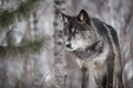 Black Phase Grey Wolf Canis Lupus Peers Out Intently Royalty Free Stock Photos - 87890258