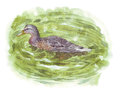 Brown Duck Swimming In Lake Water Stock Images - 87903764