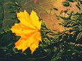 Fallen Maple Leaf In Green Algae. Dotted Maple Leaf Royalty Free Stock Photography - 87935707