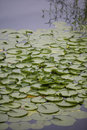 Lilly Pads Royalty Free Stock Images - 887159
