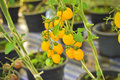Branch Of Fresh Yellow Cherry Tomatoes Hanging On Trees In Organ Stock Images - 88005954