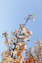 Beautiful White Cherry Blossom Flowers Tree Branch In Garden With Nice Clear Blue Sky. Natural Spring Season Festival Background Royalty Free Stock Photo - 88040845