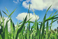 Low Angle View Of Fresh Grass Against Blue Sky Stock Photo - 88056550