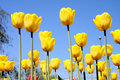 Yellow Tulips Royalty Free Stock Photo - 8814615