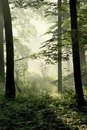 Misty Forest With Early Morning Sun Rays Stock Image - 8815721