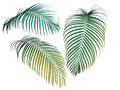 Green And Yellow Palm Leaves Collection, Tropical Plant Isolated Royalty Free Stock Image - 88133596