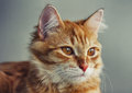 Portrait Of Young Red Cat Closeup Stock Photo - 88272320