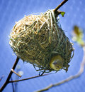 Bird In Nest Looking Down Royalty Free Stock Images - 8837029