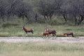 Herd Of African Antelopes Blesbok In Savannah. Bubaline Antelope Stock Image - 88322191