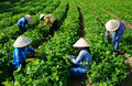 Asian Farmer  Working On Agriculture Field Royalty Free Stock Images - 88334709