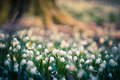 Spring Snowflake Flowers Blossom, Blooming In Natural Environment Of Forest, Woods. Spring Background With Strong Bokeh Royalty Free Stock Photography - 88407107