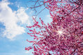 Spring Tree With Pink Flowers Almond Blossom On A Branch On Green Background, On Blue Sky With Daily Light Royalty Free Stock Image - 88420286