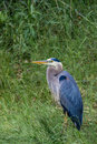 Great Blue Heron In Grass Stock Photo - 88435970