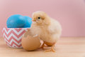 Yellow Fluffy Easter Chick Looks At Camera With Egg Shell Stock Photos - 88460513