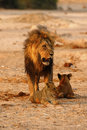 Magnificent Pride Of Lions Dad With Cubs Stock Photography - 88482602