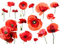 Set Of Red Poppies Isolated On The White Background. Stock Photography - 88527802