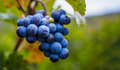 Grapes On The Vine Stock Photography - 88538002