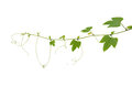 Young Palmately Green Leaves Vine With Tendrils And Budding Flow Stock Image - 88540811