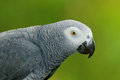 Detail Portrait Of Beautiful Grey Parrot. African Grey Parrot, Psittacus Erithacus, Sitting On The Branch, Africa. Bird From The G Royalty Free Stock Photo - 88564305