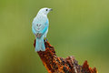 Blue-gray Tanager, Exotic Tropic Blue Bird From Costa Rica. Bird Sitting On Beautiful Green Moss Branch. Birdwatching In South Ame Royalty Free Stock Photo - 88565615