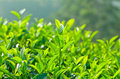 Plantation Of Green Tea Background Royalty Free Stock Images - 88565719