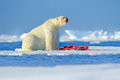White Polar Bear On Drift Ice With Snow Feeding Kill Seal, Skeleton And Blood, Russia. Bloody Nature With Big Animal. Polar Bear, Royalty Free Stock Photo - 88566675