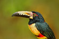 Portrait Of Toucan. Collared Aracari, Pteroglossus Torquatus, Bird With Big Bill. Toucan Sitting On The Branch In The Forest, Cost Royalty Free Stock Photography - 88567217