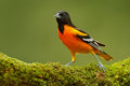 Baltimore Oriole, Icterus Galbula, Sitting On The Green Moss Branch. Tropic Bird In The Nature Habitat. Wildlife In Costa Rica. Or Stock Images - 88567704