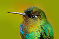 Detail Of Hummingbird Glossy Plumage. Fiery-throated Hummingbird, Panterpe Insignis, Colour Bird Sitting On Larch Branch. Mountain Royalty Free Stock Photos - 88567748