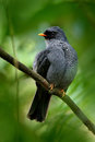 Black-faced Solitaire, Myadestes Melanops, Sitting On The Green Moss Branch. Tropic Bird In The Nature Habitat. Wildlife In Costa Stock Image - 88567941