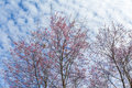 Winter Pink Cherry Blossom Sakura Flower Foliage Against Sky B Stock Image - 88578191