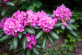 Rhododendron Flower Bush Blooming Stock Images - 88620974