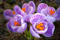 Beautiful Blooming Purple And White Striped Spring Crocus Macro. Royalty Free Stock Image - 88631366