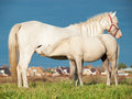 Pony Foal Eating Mom In The Pasture. Freedom Royalty Free Stock Images - 88645729