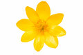 Yellow Spring Flower Isolated Royalty Free Stock Photography - 88683527