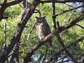 Great Horned Owl Stock Image - 8877451