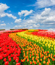 Rows Of Tulip Flowers Stock Photography - 88758102