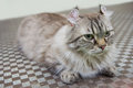 American Curl Cat Royalty Free Stock Image - 88887216