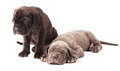 Two Beautiful Young Puppies Italian Mastiff Cane Corso 1 Month Royalty Free Stock Image - 88891146