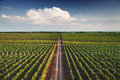 Vineyard With Rows Of Grapes Growing Under A Blue Sky Royalty Free Stock Images - 88918489