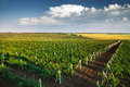 Vineyard With Rows Of Grapes Growing Under A Blue Sky Stock Photos - 88927923