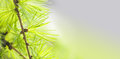 Pine Tree Branch With Greenery Needles Close-up. Forest Tree Macro View. Soft Focus. Spring Time Season Concept. Copy Stock Image - 88986931