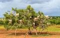 Goats Graze In An Argan Tree - Morocco Royalty Free Stock Images - 88994609