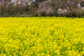Canola Field Spring Season In Hanamiyama Stock Photo - 88996730