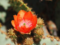 A Prickly Pear Cactus Blossom Opens To The Sun Stock Photo - 88999490