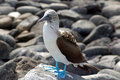 Blue Footed Booby Royalty Free Stock Images - 897669