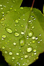 Dew On Leaves Royalty Free Stock Photos - 8906468